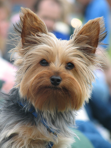 The Gallery For Gt Boy Yorkie Haircuts